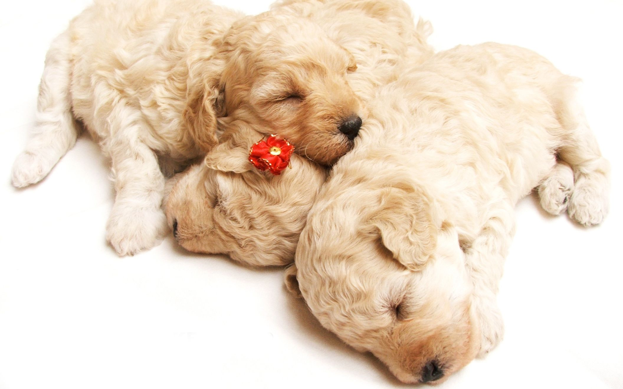 Download free HD Cute Sleeping Puppies Wide Wallpaper, image