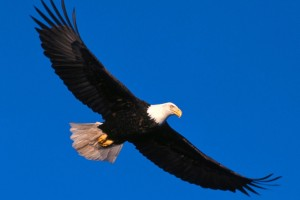 Eagle Soaring High Normal Wallpaper