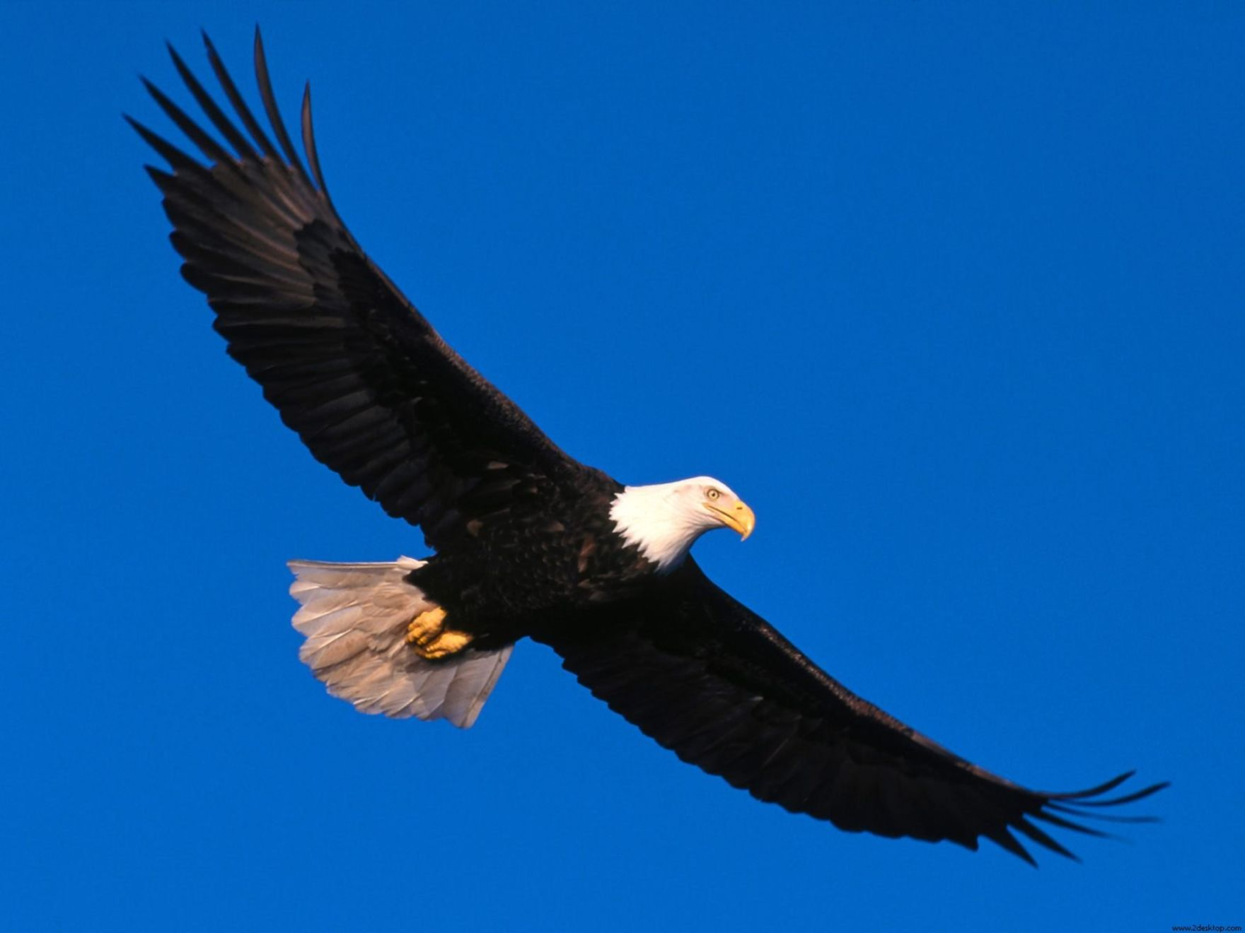 Download free HD Eagle Soaring High Normal Wallpaper, image