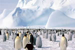 Emperor Penguins Antarctica Normal Wallpaper