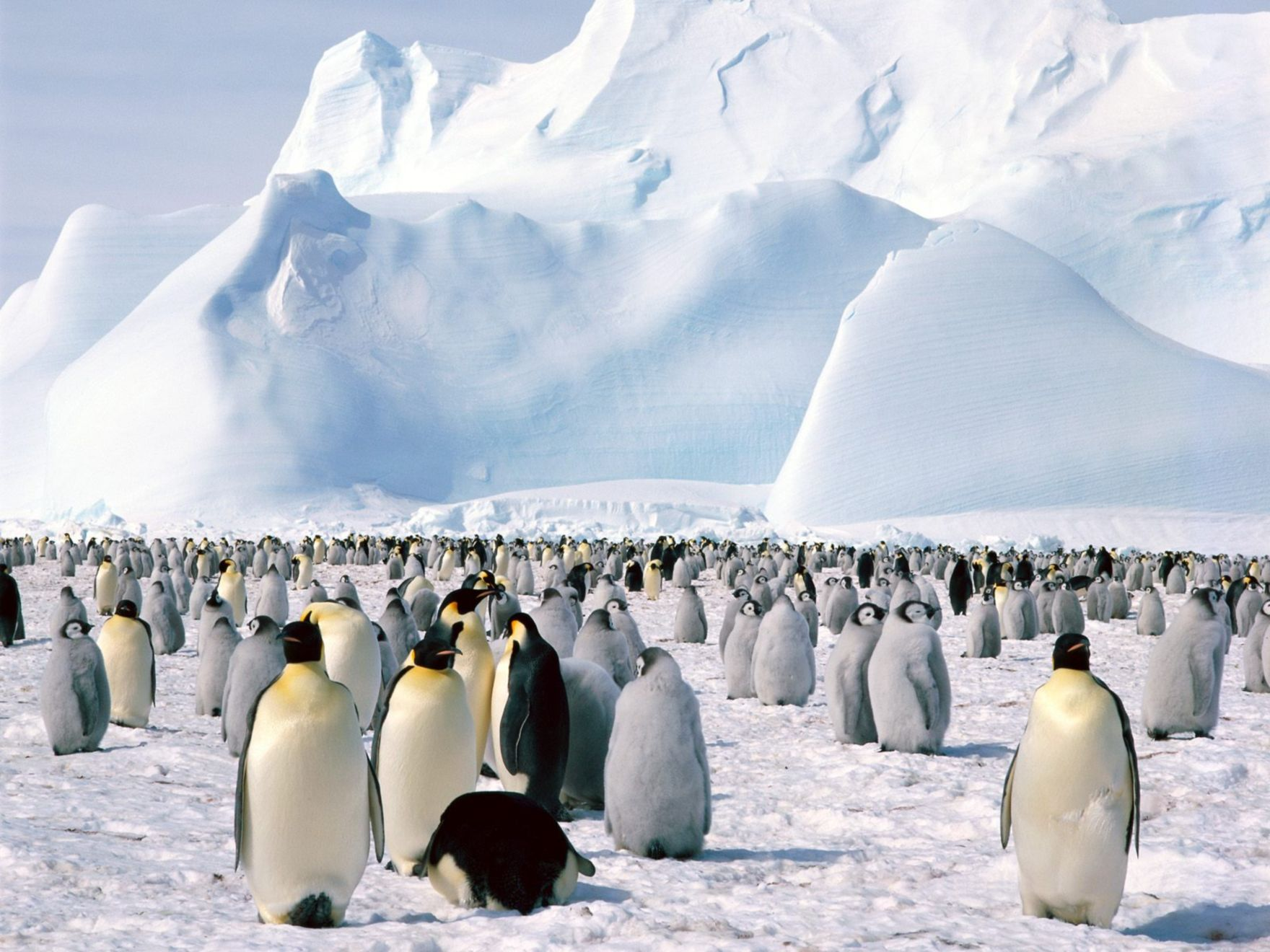 Download free HD Emperor Penguins Antarctica Normal Wallpaper, image