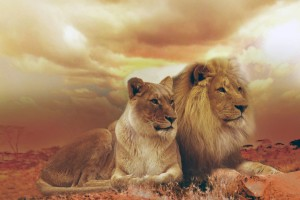 Download Femfle And Male Lions Wide Wallpaper Free Wallpaper on dailyhdwallpaper.com