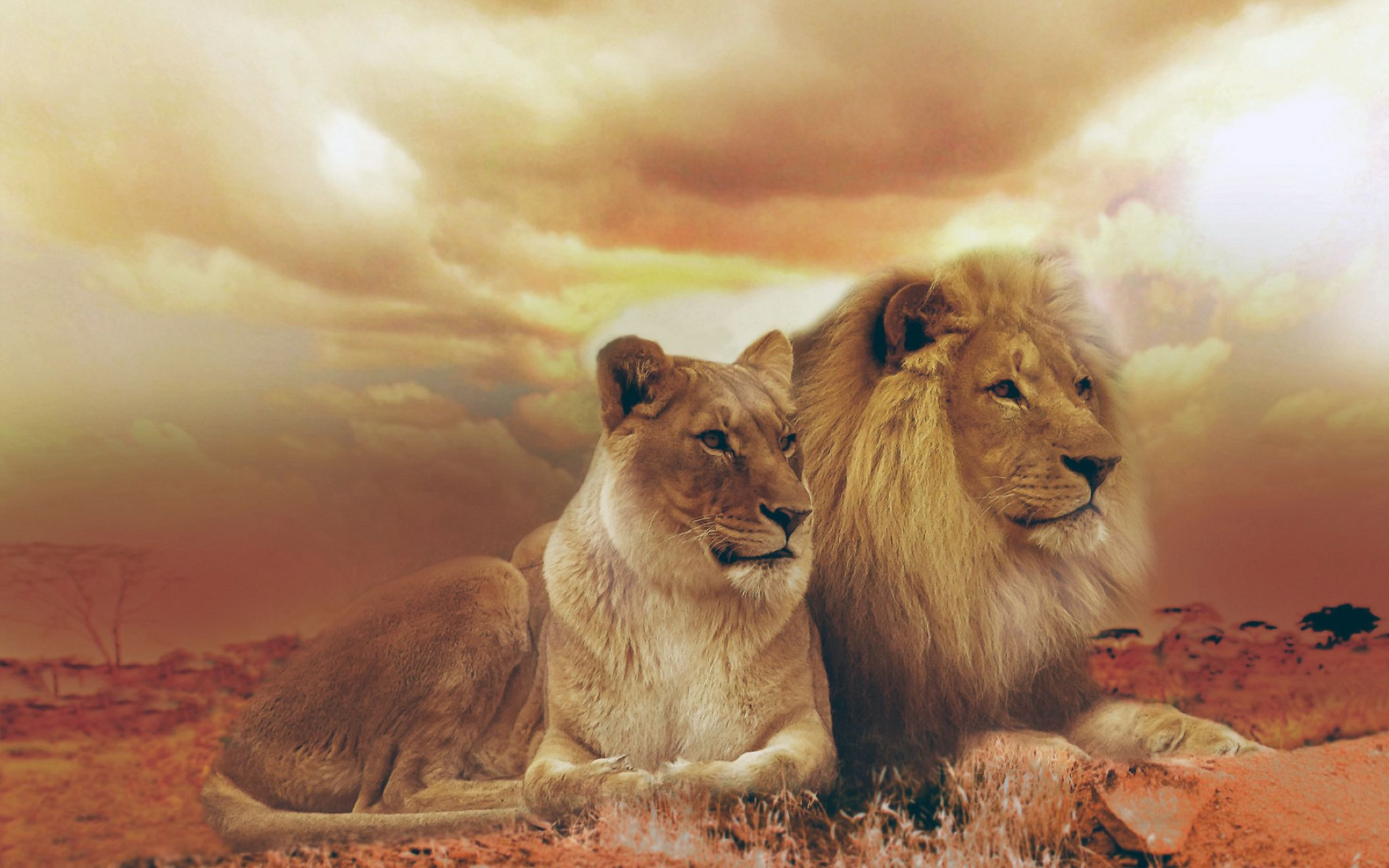 Download free HD Femfle And Male Lions Wide Wallpaper, image