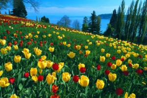 Field Of Tulips Germany Normal Wallpaper