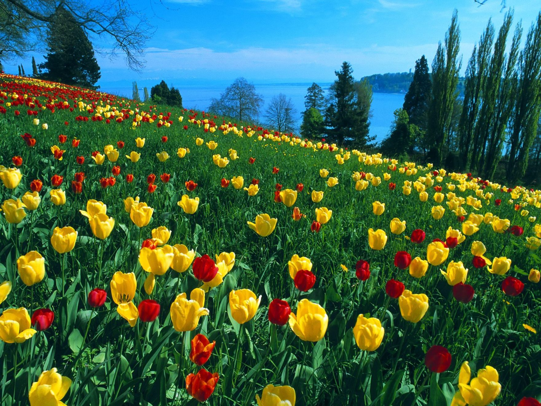 Download free HD Field Of Tulips Germany Normal Wallpaper, image