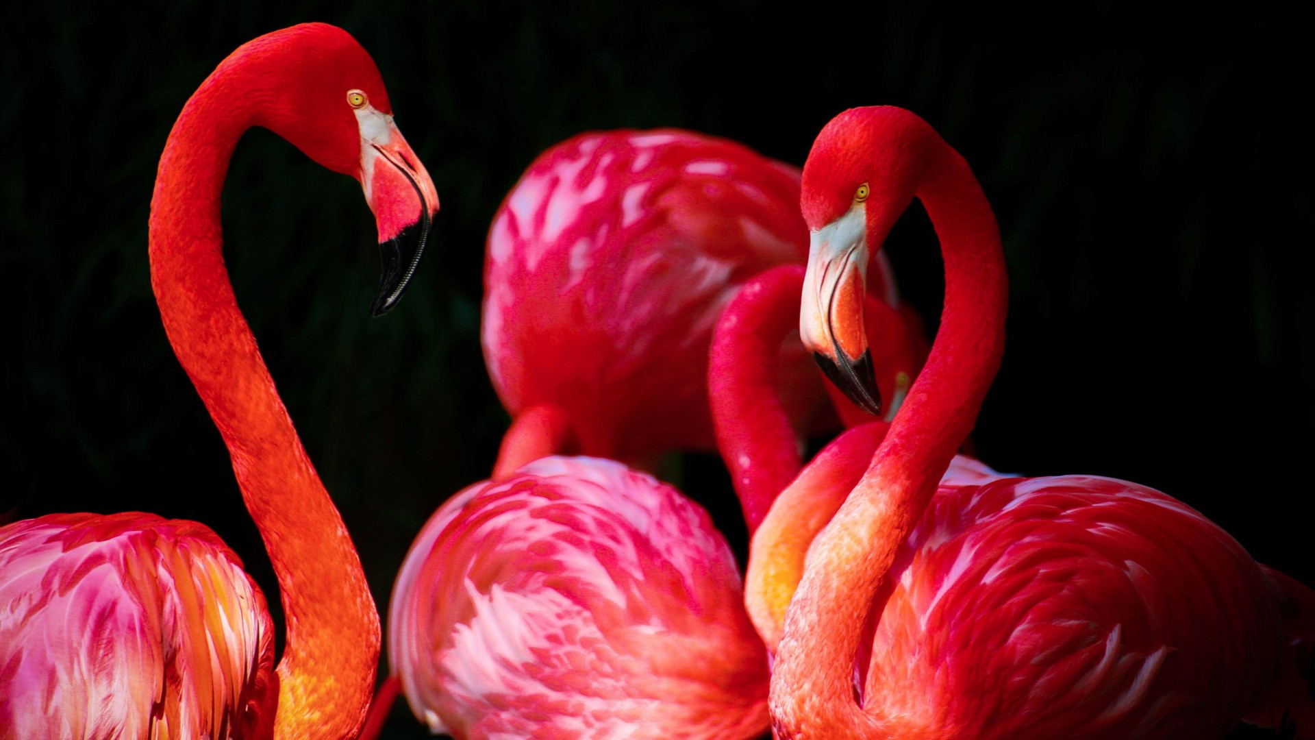Flamingos HD Wallpaper