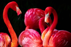 Download Flamingos HD Wallpaper Free Wallpaper on dailyhdwallpaper.com