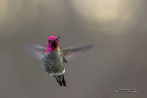 Flying Hummingbird Wide Wallpaper