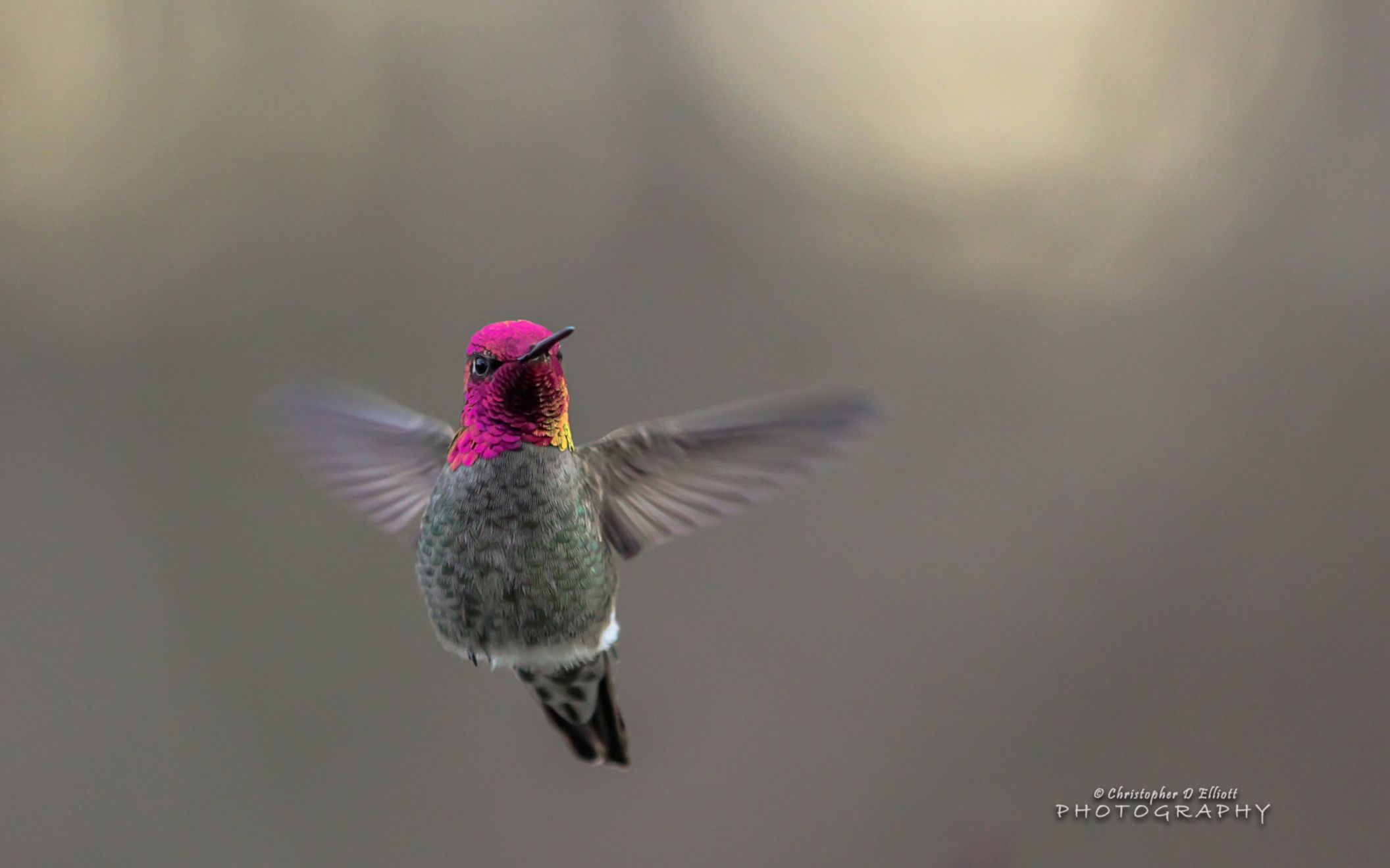 Download free HD Flying Hummingbird Wide Wallpaper, image