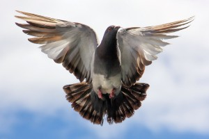 Flying Pigeon HD Wallpaper