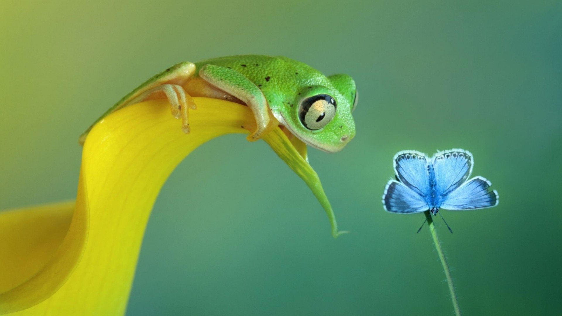 Funny Frog And Butterfly Macro Full HD Wallpaper