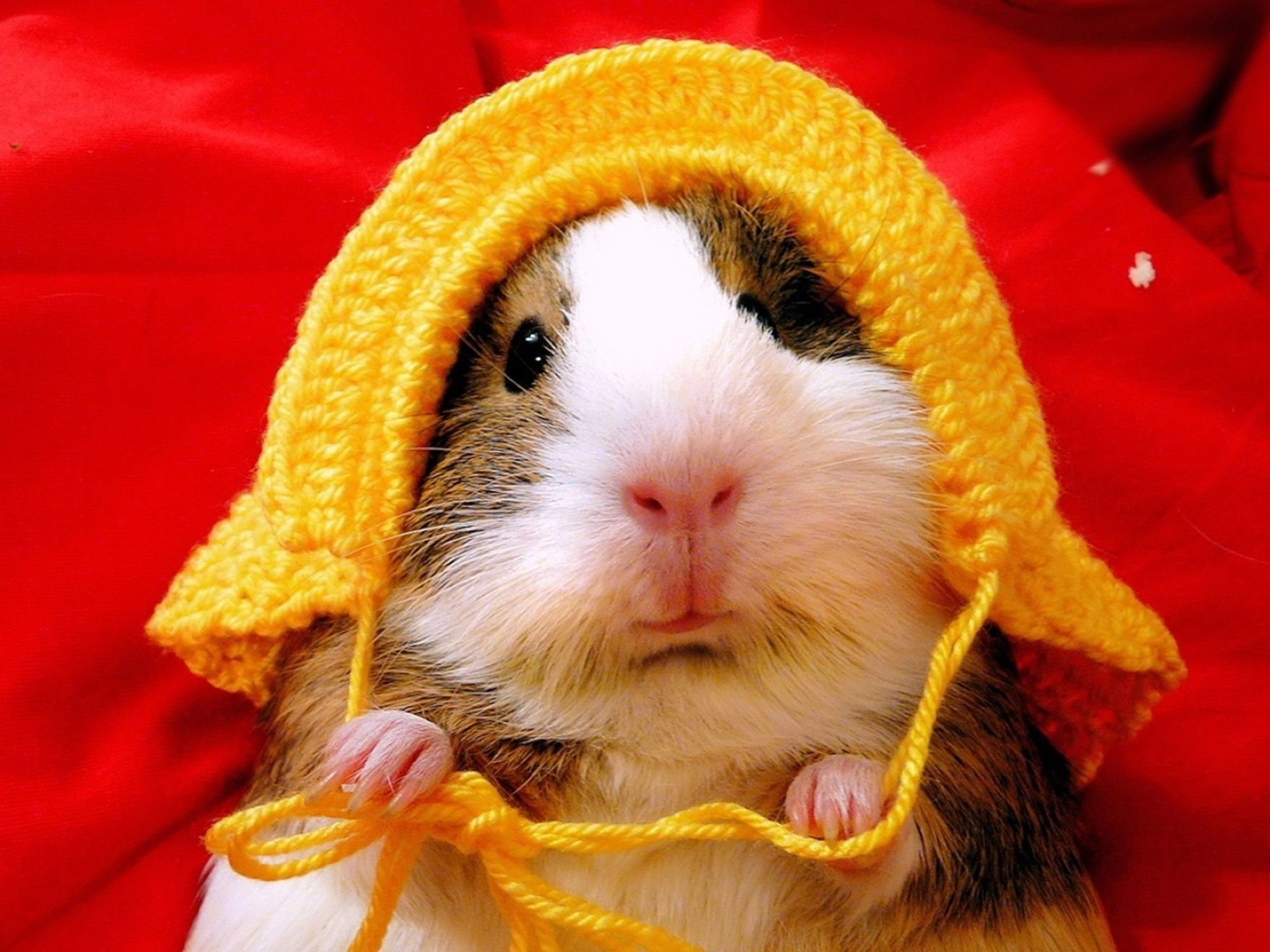 Download free HD Funny Hamster 1600×1200 Wallpaper, image