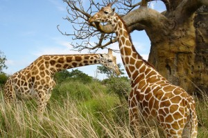 Giraffe Pair Wide Wallpaper