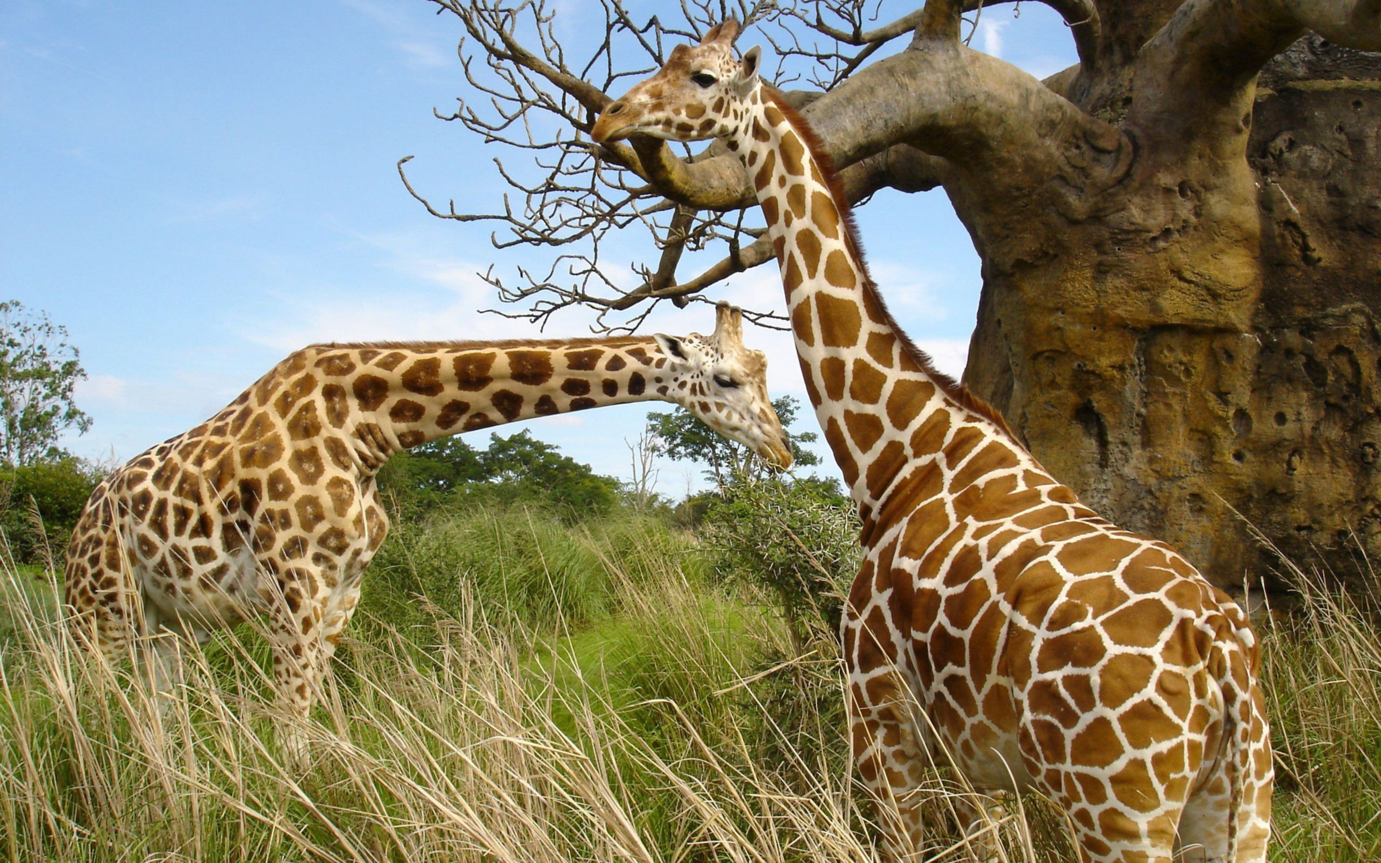 Download free HD Giraffe Pair Wide Wallpaper, image