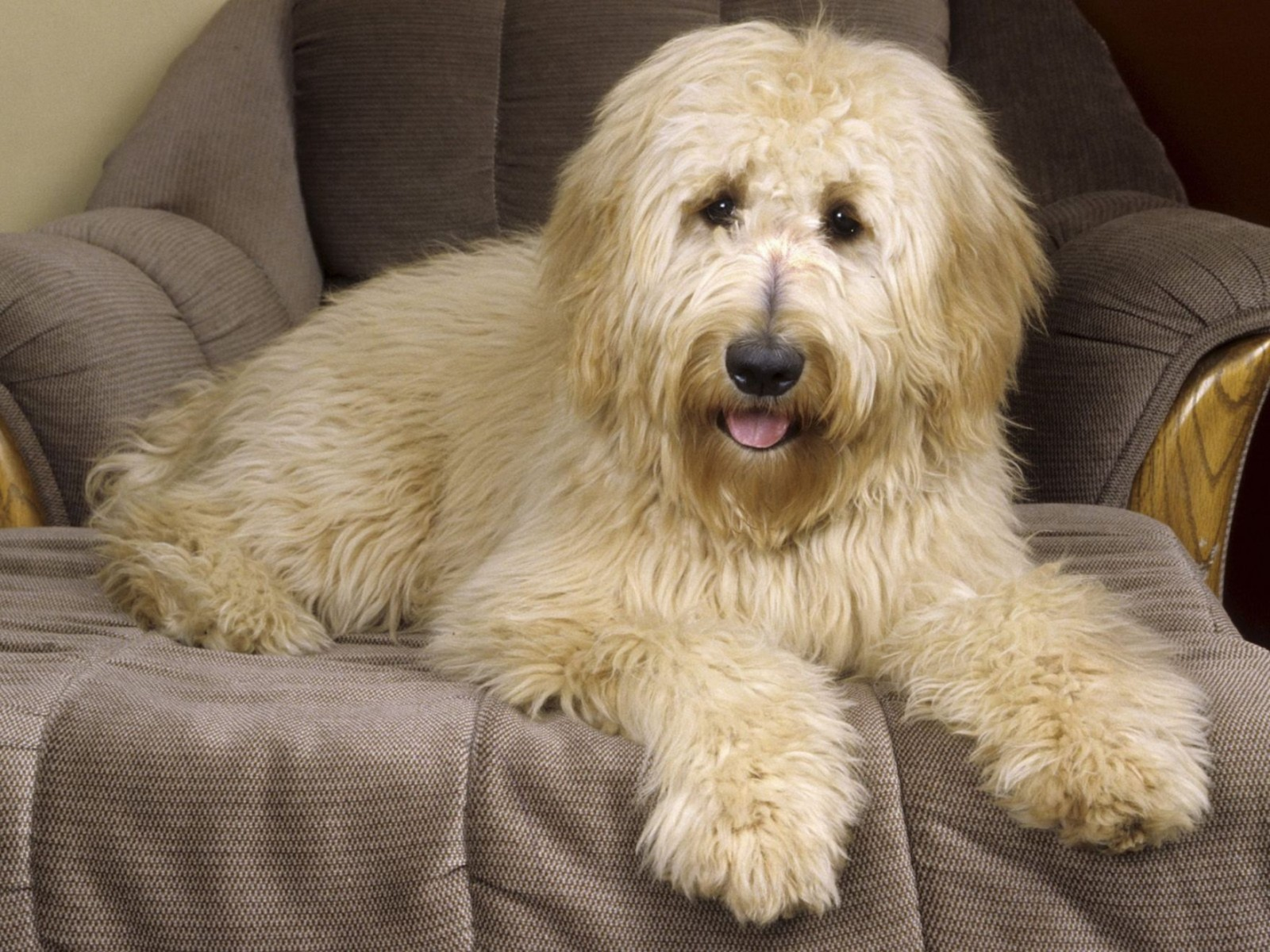 Goldendoodle Normal Wallpaper
