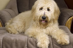 Download Goldendoodle Normal Wallpaper Free Wallpaper on dailyhdwallpaper.com