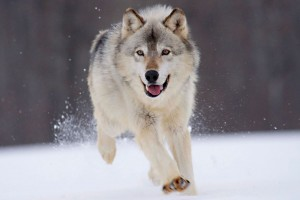 Gray Wolf Minnesota Wide Wallpaper