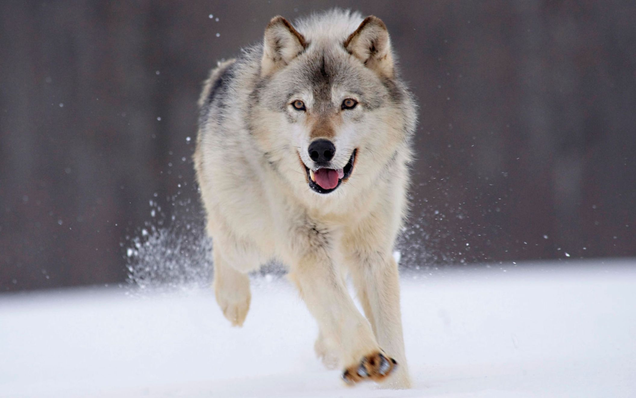 Download free HD Gray Wolf Minnesota Wide Wallpaper, image