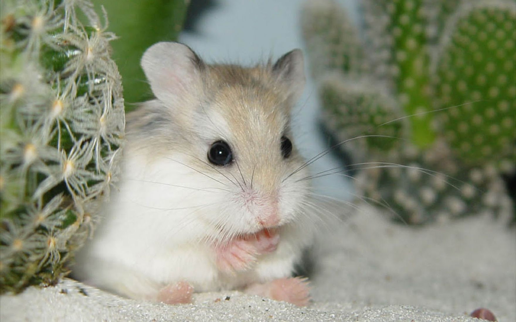 Download free HD Hamster Animal Computer Wallpaper, image