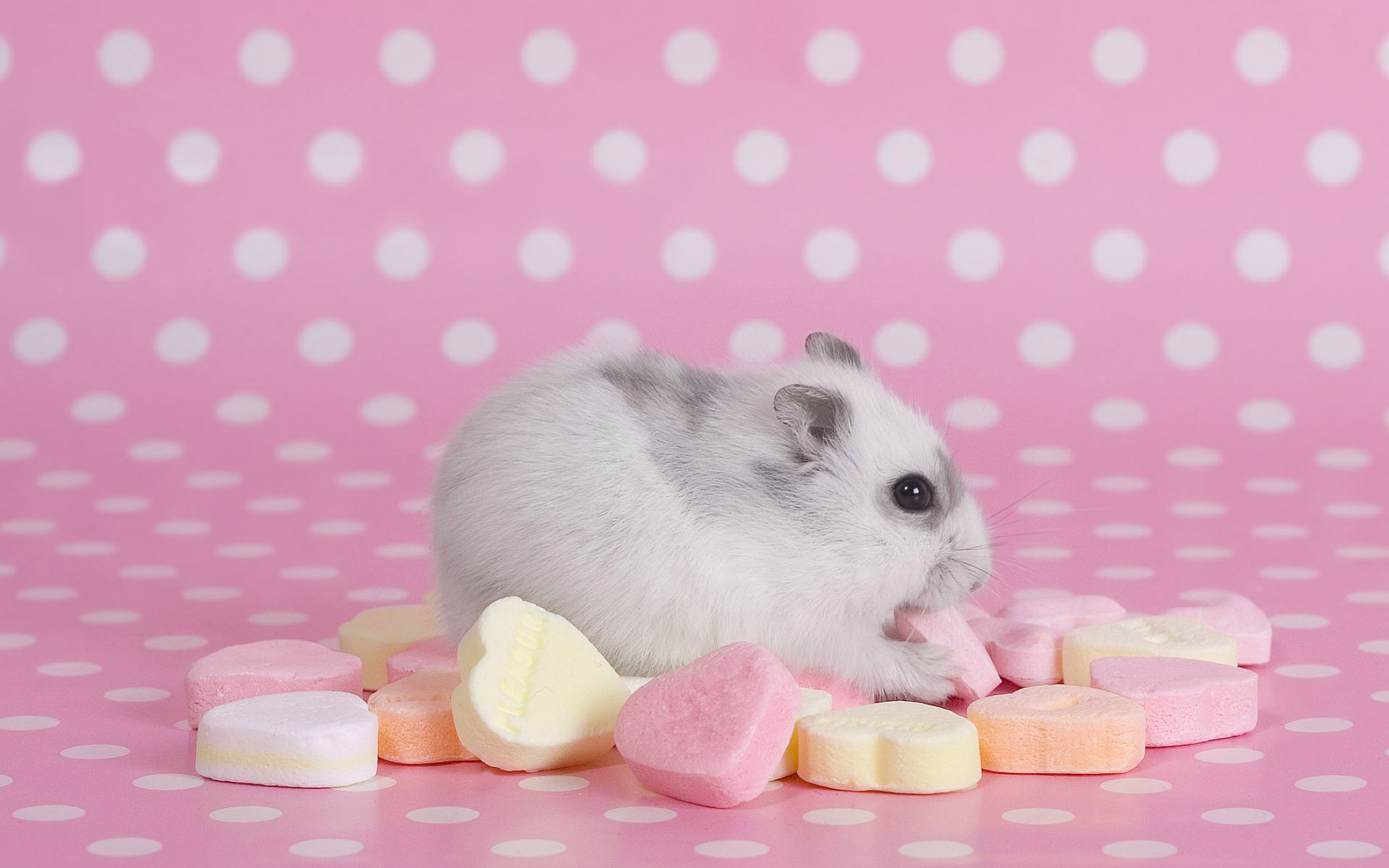 Download free HD Hamster Desktop Pink Wallpaper, image