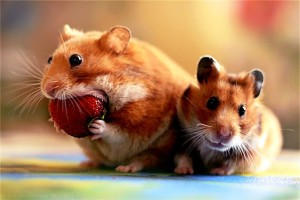 Download Hamster Hd Wallpaper Free Wallpaper on dailyhdwallpaper.com