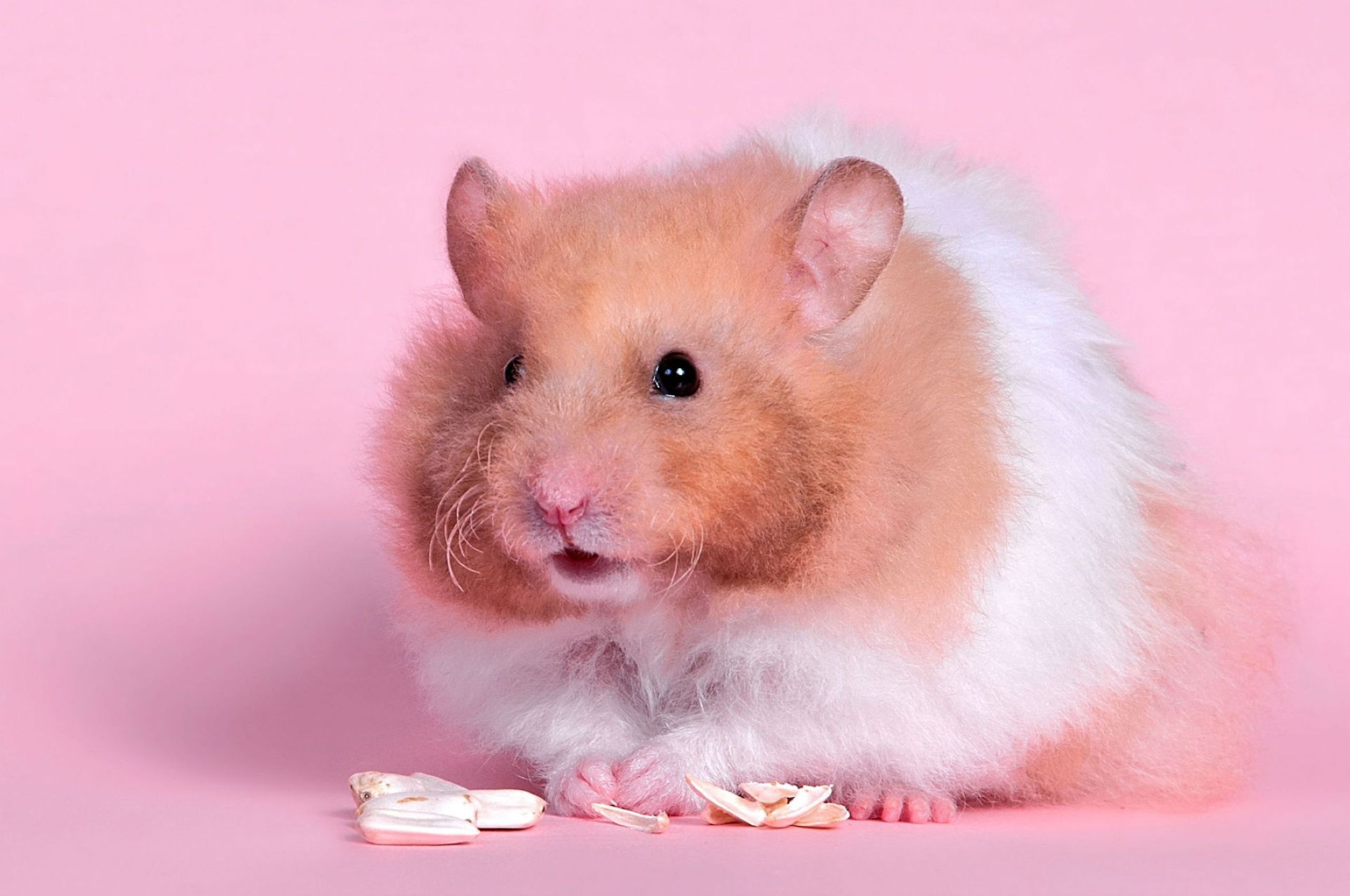 Download free HD Hamster Live Pink Picture, image