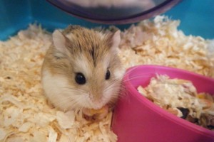 Download Hamster Roborovski Wallpaper Free Wallpaper on dailyhdwallpaper.com