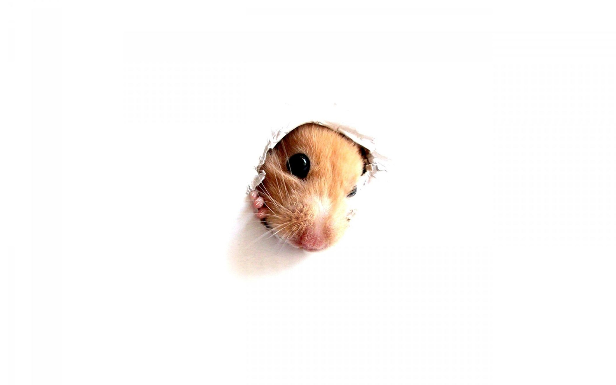 Download free HD Hamster Wallpaper, image