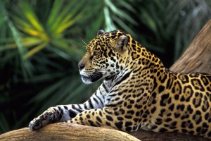 Jaguar In Amazon Rainforest Wide Wallpaper