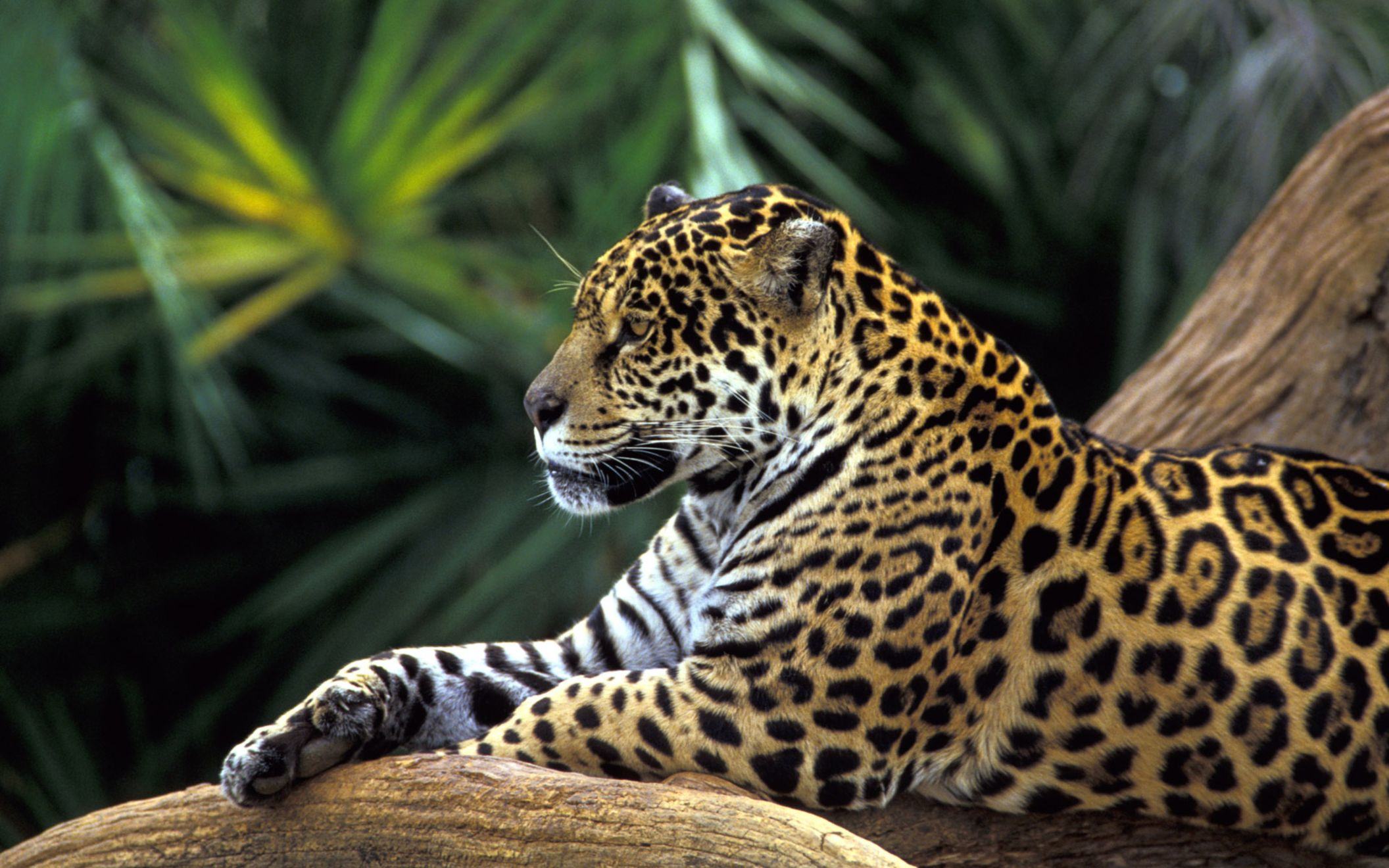 Download free HD Jaguar In Amazon Rainforest Wide Wallpaper, image