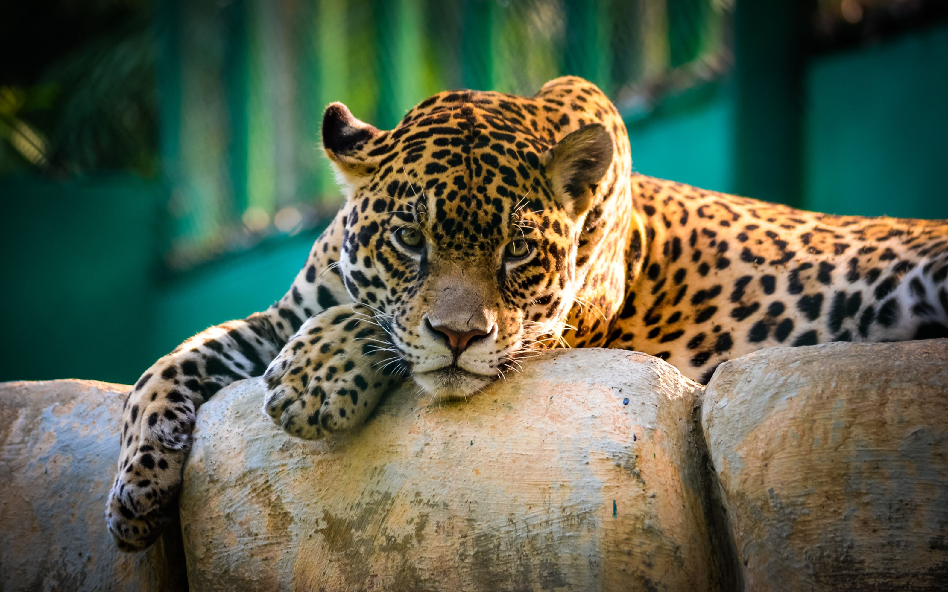 Download free HD Jaguar Mexico Wide Wallpaper, image