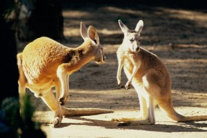 Kangaroo Conversation Australia Normal Wallpaper