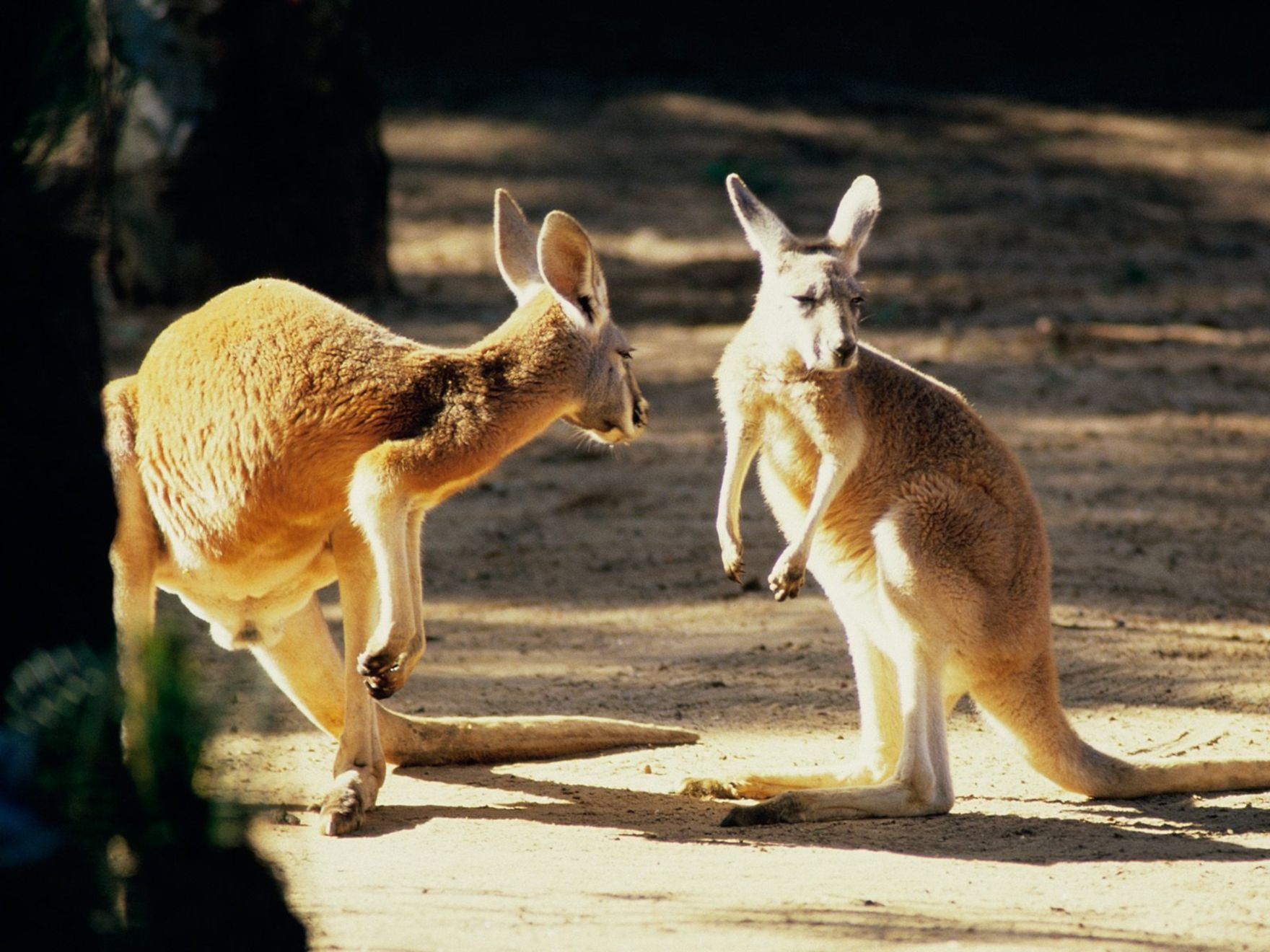 Download free HD Kangaroo Conversation Australia Normal Wallpaper, image