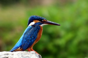 Kingfisher Wide Wallpaper