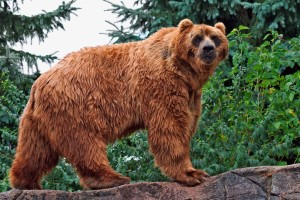 Download Kodiak Bear Wide Wallpaper Free Wallpaper on dailyhdwallpaper.com