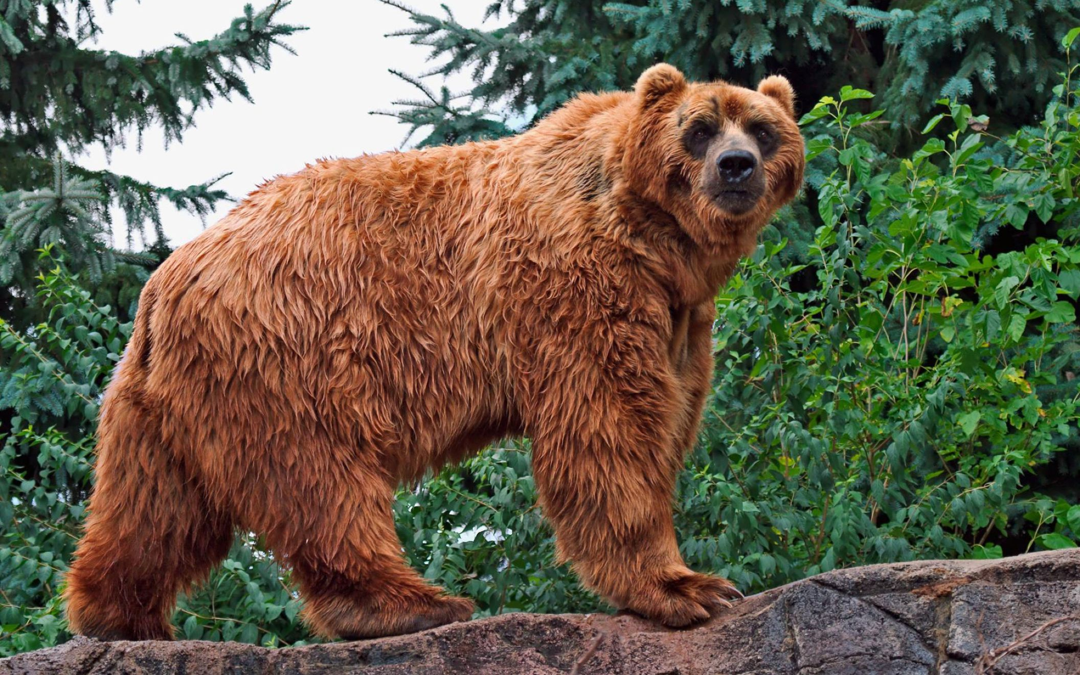 Download free HD Kodiak Bear Wide Wallpaper, image
