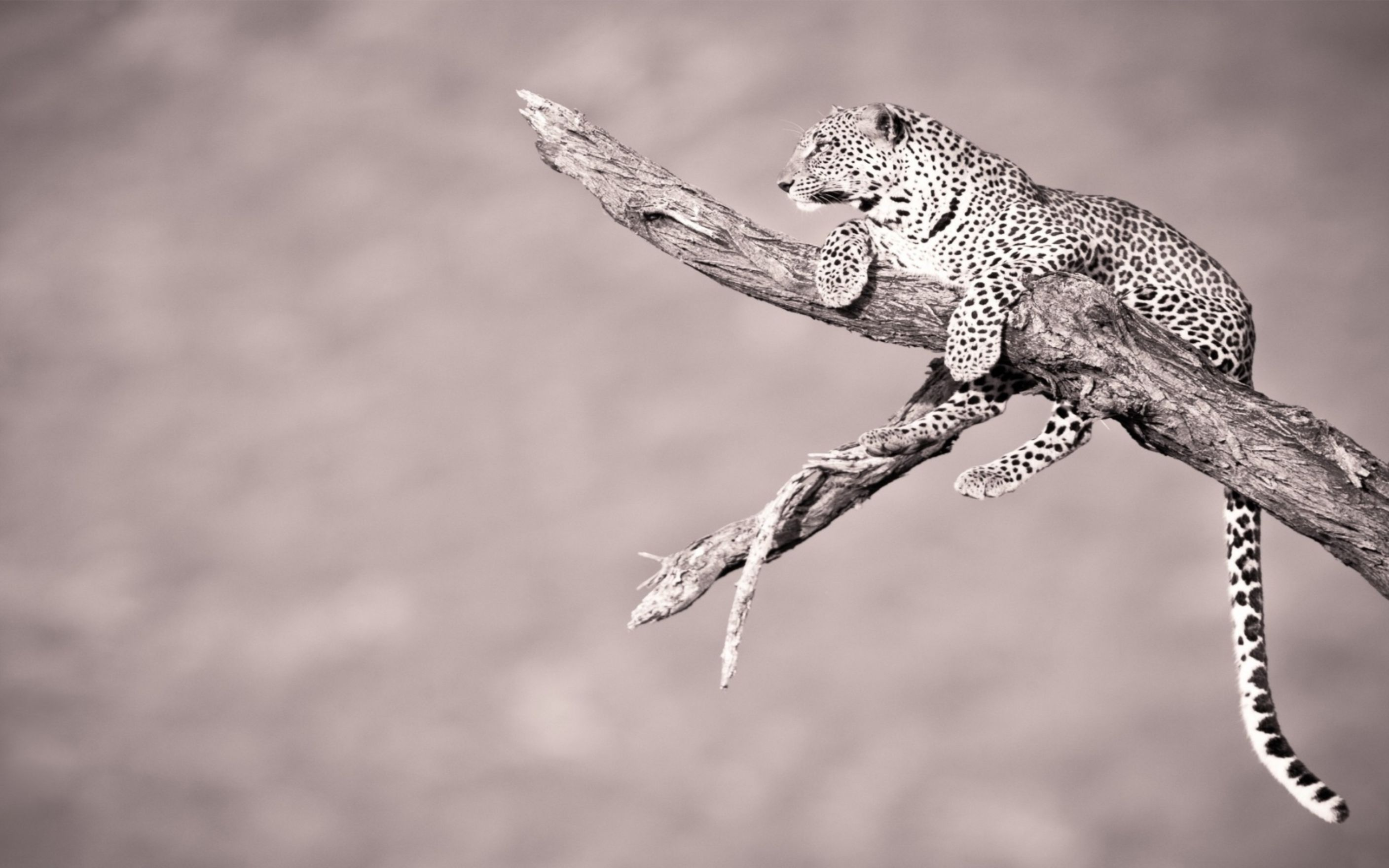 Download free HD Leopard On A Branch Wallpaper, image