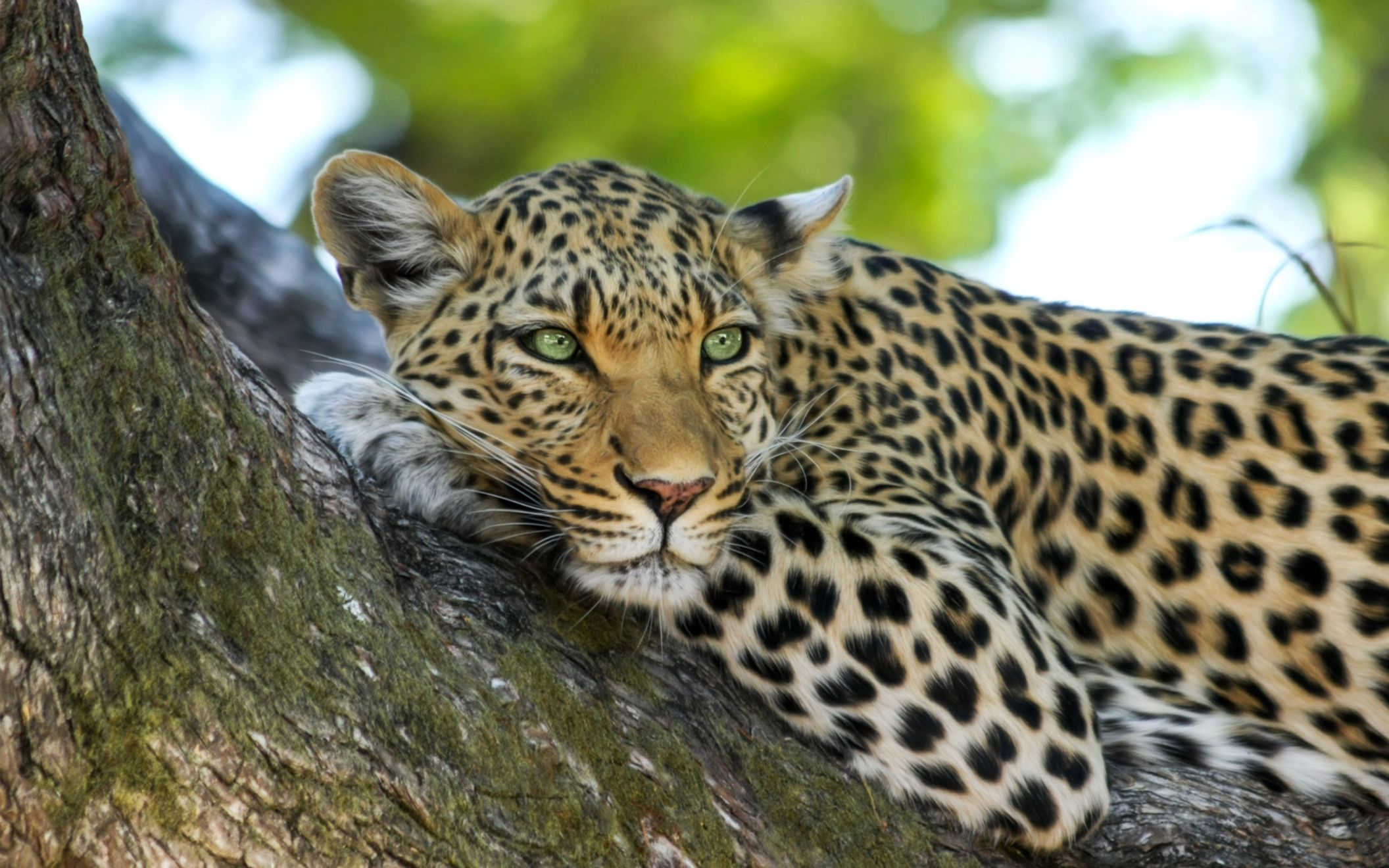 Download free HD Leopard Wide Wallpaper, image