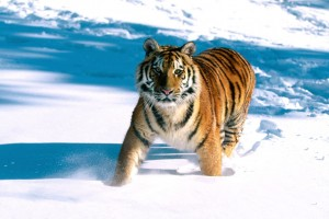 Majestic Grace Siberian Tiger Normal Wallpaper