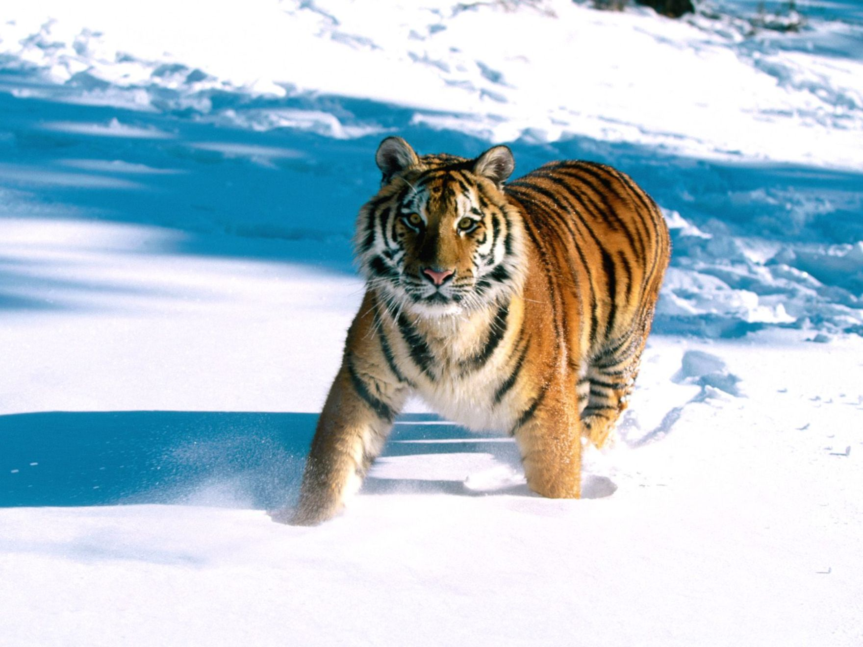 Download free HD Majestic Grace Siberian Tiger Normal Wallpaper, image