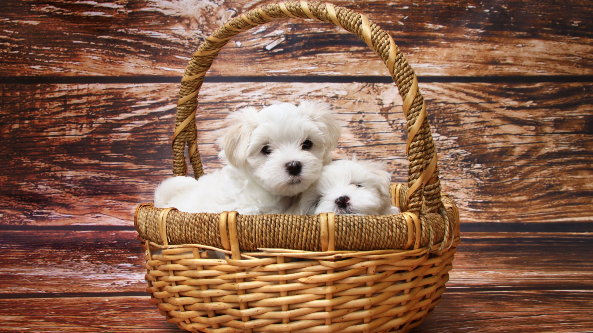 Maltese Dogs HD Wallpaper
