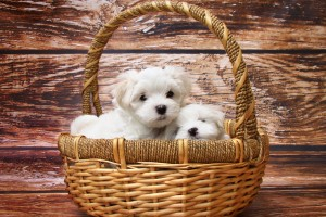 Download Maltese Dogs HD Wallpaper Free Wallpaper on dailyhdwallpaper.com