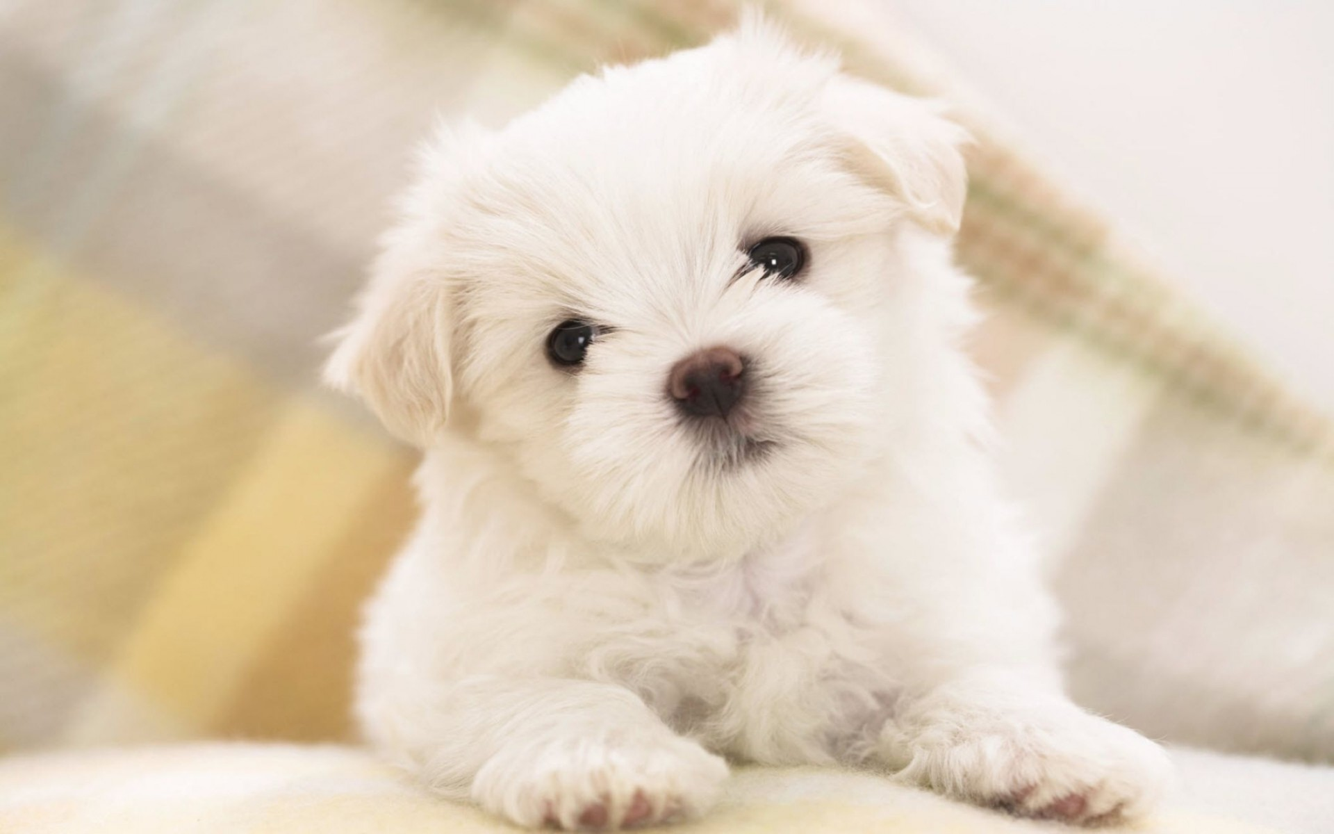 Maltese Puppy Wide Wallpaper