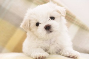 Download Maltese Puppy Wide Wallpaper Free Wallpaper on dailyhdwallpaper.com