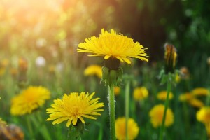 Nature Flowers Dandelions Wallpaper