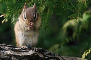 Nice Chipmunk Standing On Wood Wallpaper