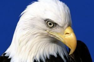 Noble Lead Bald Eagle Normal Wallpaper
