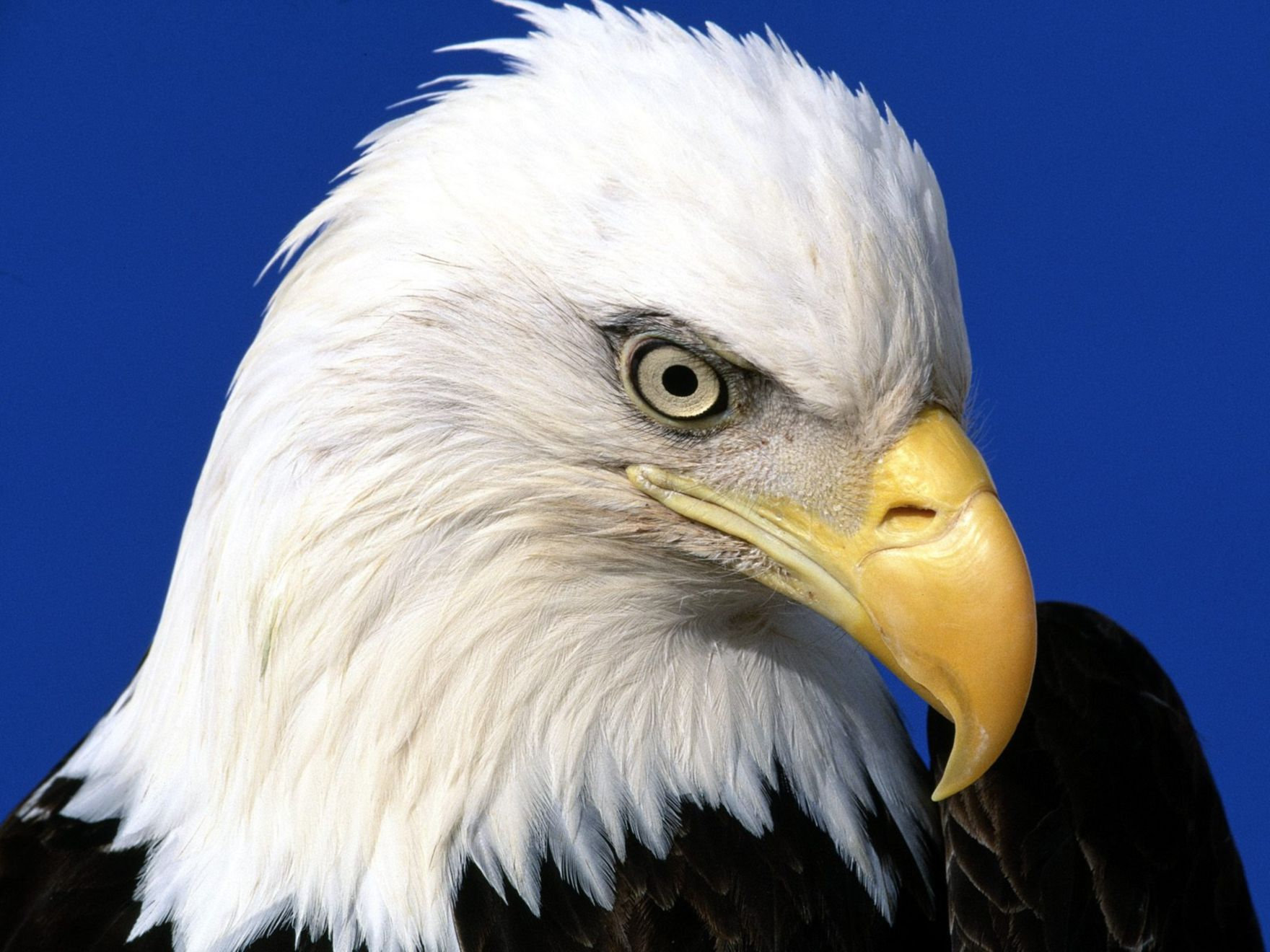 Download free HD Noble Lead Bald Eagle Normal Wallpaper, image