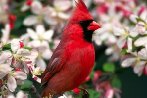 Northern Cardinal Normal Wallpaper