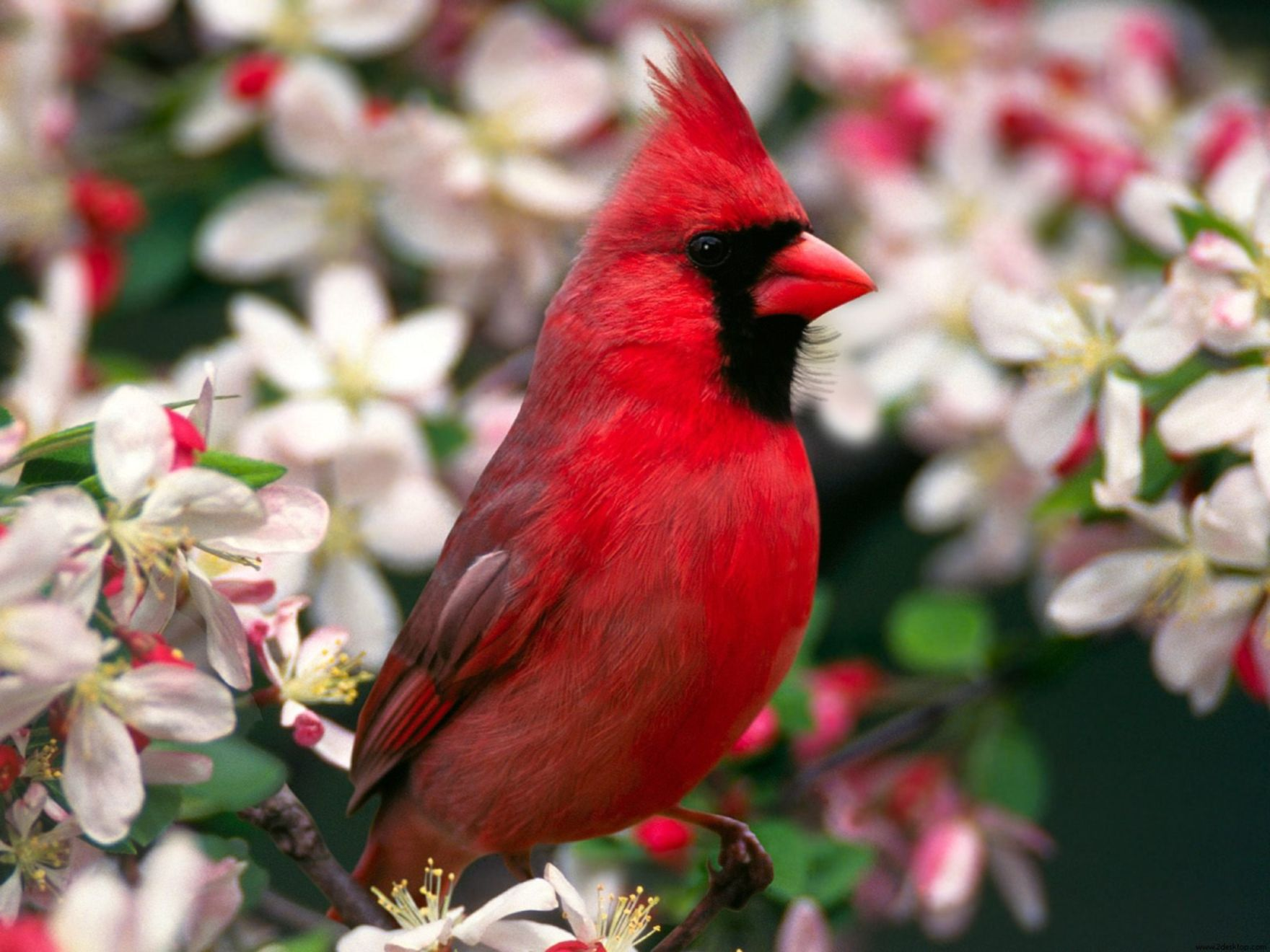 Download free HD Northern Cardinal Normal Wallpaper, image